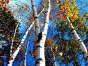 Birches and Blue Skies.