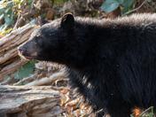 Backlit Bear Cub