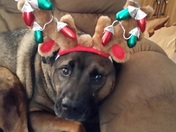 This is Gracie, as you can tell by her face, she is not happy.  Her Christmas sp