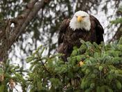 Coastal Bald Eagle