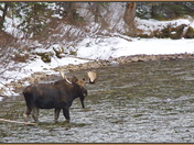 Bull Moose crossing some water