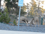 Two bucks challenging each other