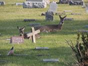 Deer at Glendale Cemetery
