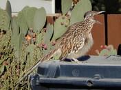 Roadrunner Squawking
