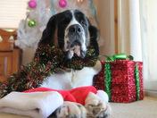 Daisy, the St. Bernard waiting for Santa!