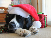Daisy, the St. Bernard waiting for Santa!