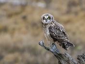 Wild Short-eared Owl