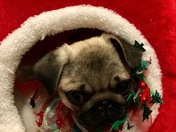 Pumpkin the Pug in Santa's bag- Santa brought an early Christmas present!