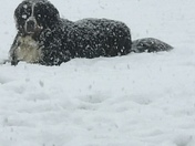 Bernese Mountain Dogs Love Mississippi Snow!