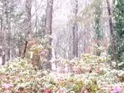 Snowfall over azaleas in Clemson