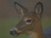 White Tailed deer Buck & Fawn in the fog