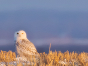 Snowy Owl in the Fields