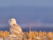 Snowy Owl in the Fields
