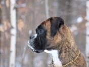 Boxer Snow