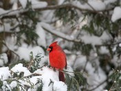 Cardinal in the Snowy Tree