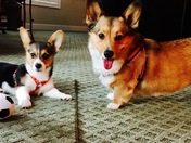 Our 4 year old Corgi Brody and 8 month old Bella