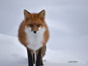 Winter winds fox