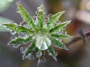 Frozen Water Droplets on a Lupin