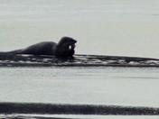 Otter enjoying breakfast on Pearly Pond, Rindge, NH