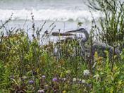 Great Blue Heron in Wildflowers