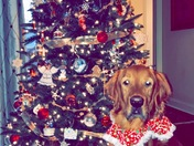 Christmas dog pic