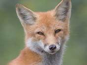 Red Fox Adult