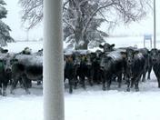 Lost Cows!