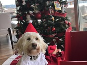 Tucker the goldendoodle is ready for Christmas