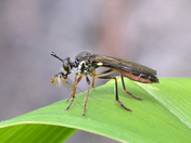 Robber Fly Feeding
