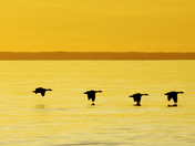 Canada Geese at dusk