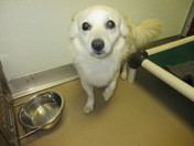 American Eskimo mix! 2YO, adorable smallie at Seminole Co. Animal Services