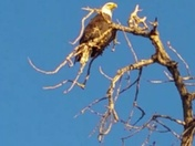 Eagle perched on top of a tree