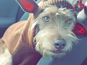 Winston - the wire-haired reindeeer