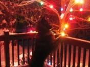 Blu Dog & Christmas Lights
