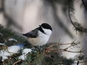 Winter Songbird
