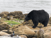 Black Bear & Harlequin Duck