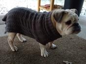 English bulldog with sweater on :)