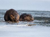 Winter Beavers
