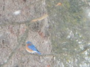Bluebirds in the snowstorm