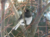 A Junco out braving the blizzard