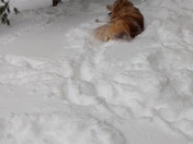 Chow chow in snow in Spencer MA
