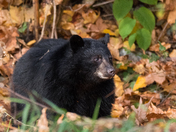 Autumn Bear Cub