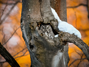 Screech Owl at Sunset