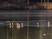 Mallard ducks on ice