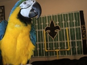 Who Dat Parrot