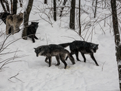 Wolf Pack On A Snowy Day