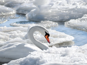 Beautiful white swan surrounded by ice flakes