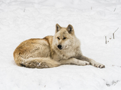 Alpha Male Timber Wolf Resting In The Snow
