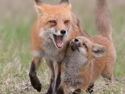 Adult Red Fox and Kit