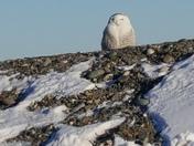 Snow Owl at Rye Beach